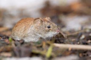 Co zrobić, żeby pozbyć się myszy w domu?
